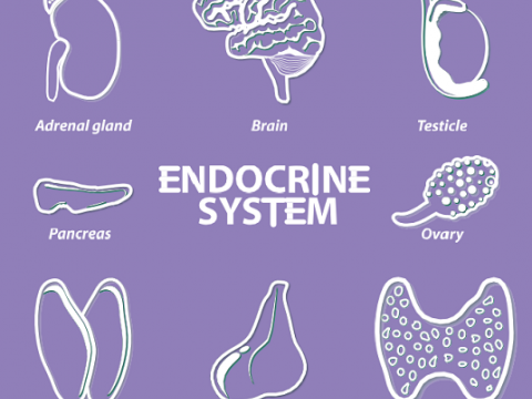 endocrine systeem